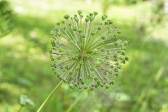 Cipolle verdi che fioriscono nel giardino immagine stock