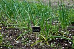 Cipolle verdi e targhetta crescenti Fotografia Stock Libera da Diritti