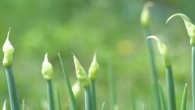 Cipolle verdi in giardino stock footage