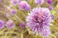 Cipolle verdi mature, estate Fotografia Stock Libera da Diritti
