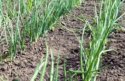 Cipolle verdi piantate in una fila immagine stock