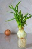 Cipolle verdi in un bicchiere d'acqua Fotografia Stock