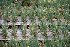Cipolletta Fotografia Stock Libera da Diritti
