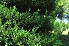 Ciprés verde Fotografía de archivo