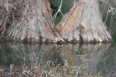 Cipres en Schildpadden Stock Afbeeldingen