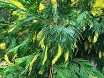 Cipres met groene en gele naalden Stock Foto's