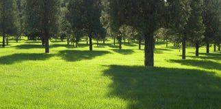 Cipres op grasgebied Stock Afbeelding