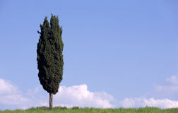 Cipres in Toscanië Italië stock afbeeldingen