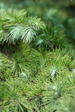 Cipresbladeren royalty-vrije stock foto