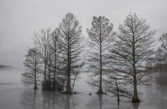 Cipresbomen in Ijs worden en in Mist worden gehuld bevroren die die Stock Afbeeldingen