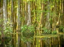 Cipresbomen op het meer stock foto