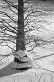 Cipresboom op ijs Stock Foto's