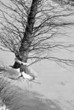 Cipresboom op ijs Royalty-vrije Stock Fotografie