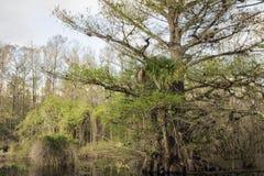 Cipresboom op Moeras bij het Domein van Slough Royalty-vrije Stock Foto