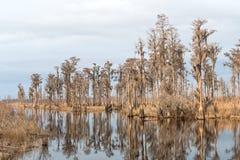 Cipresbosje op een Zuidelijke Bayou stock fotografie