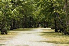 Cipressen in de moerassen. Royalty-vrije Stock Fotografie