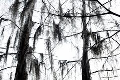 Cipresso di inverno Fotografia Stock