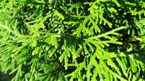 Cipresso sempreverde verde Fotografie Stock Libere da Diritti