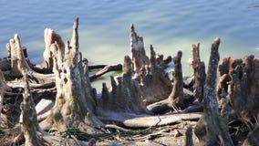 Cipresstompen in het water stock foto's