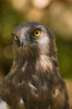 circaetus老鹰用脚尖踢的gallicus短小 库存图片