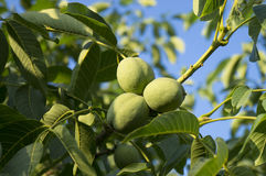 Circassian walnut tree. With fruit Stock Images