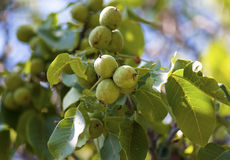 Circassian walnut tree in sunny light. Good quality picture of quite rare Circassian walnut tree in a sunny day: lush green foliage / leaves and the fruits nuts Royalty Free Stock Photos