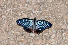 Circe butterfly. Of thailand background Royalty Free Stock Photography