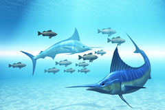The Circle. Two blue Marlins circle a school of fish in ocean waters Stock Photos