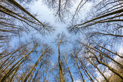 Circle of bare treetops in winter Stock Photos