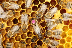 A circle of bees with bee-queen Royalty Free Stock Photography