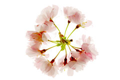 Circle of blooming cherry blossom Stock Photos