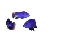 Circle with blue fish swiming. Bright blue fish swiming in a circle isolated Stock Images