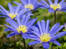 Circle of Blue Flowers. Blue Flowers Growing in a Circle - Windflowers royalty free stock photo