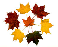 Circle of colorful maple leaves on white background Royalty Free Stock Photo