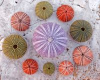 Colorful sea urchins on white marble background royalty free stock photo