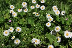 Circle of Daisies Growing in the Grass. A group of daisies grow in a circle in the grass Royalty Free Stock Photo