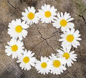 Circle of daisies on stump (with copy space) Royalty Free Stock Images