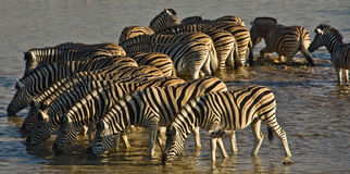 Circle of drinking Zebras. Circle of Zebras drinking at a waterhole in Etosha National Park, Namibia Royalty Free Stock Photos