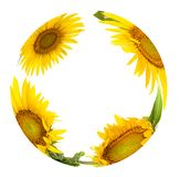 The circle fom sunflowers royalty free stock photography