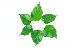 Circle Frame Leaves of Mulberry tree on white background leaf nature isolated Stock Image