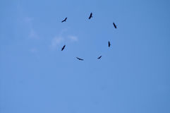 Circle of Hawks Soaring Overhead. Hawks circling overhead silhouetted on blue sky royalty free stock image