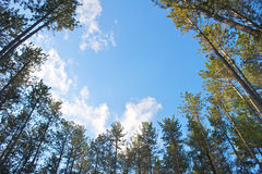 Circle of Pine Trees Royalty Free Stock Photos