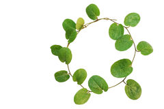Circle of small creeper plant (cover crop plant, Evolvulus nummularius) isolated on white background, clipping path included stock photos