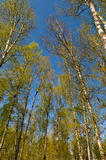 Circle of spring birches Stock Photography