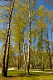 Circle of spring birches Stock Photos