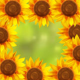 A circle of sunflowers with a blurred background Royalty Free Stock Photos