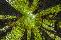 Circle of sweet chestnut trees. Low angle shot of a circle of sweet chestnut trees growing from an old trunk in Auvergne-Rhone-Alpes royalty free stock photos