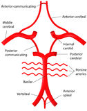 Circle of Willis Royalty Free Stock Photos