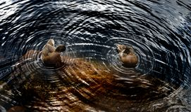 Circles around two ducks on the water of lake, geometrical. Explanation of wave theory Stock Image
