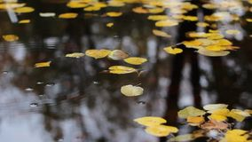 Circles Drops and Autumn Leaves. Yellowed autumn leaves floating on the surface of a pond, and drops that falle from above branches and make waving circles on stock video footage